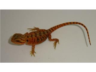 Bearded Dragon Red Hypo Translucent Puerto Rico