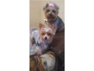 perros yorkies para la venta, Mascotas Puerto Rico