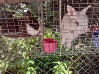 Puerto Rico Pareja de conejos enanos puros , Perros Gatos y Caballos