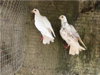 Pareja de palomas mensajeras  Puerto Rico