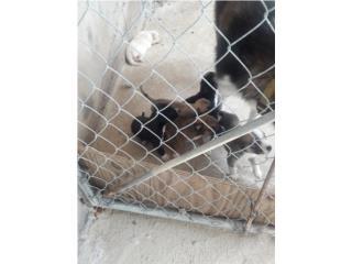 Clasificados Online Mascotas Pitsky (Pitbull & Husky Mix) Baby $150