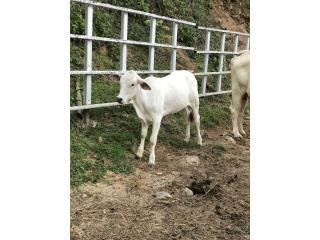 Puerto Rico Novillas , Perros Gatos y Caballos
