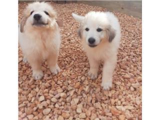 Hermosos Puppies GRAN PIRINEO Puerto Rico
