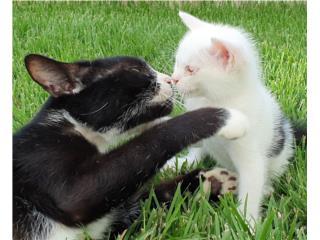 Gatitos machos y/o mamá Puerto Rico