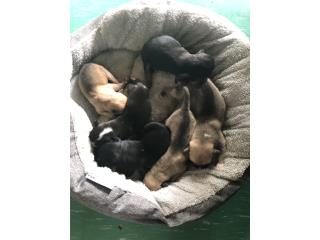 Perros raza pitbull red nose bebes Puerto Rico