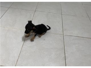 Chihuahua (toy) para clasificar Puerto Rico