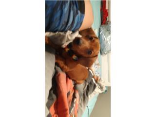 Puppy dachshund (salchicha) Puerto Rico