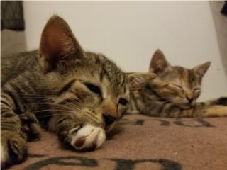 Adorables Gatitos para Adopcion Puerto Rico