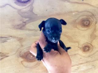 Chihuahua toy nene  Puerto Rico