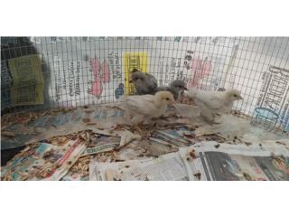 4 Easter Eggers  Puerto Rico