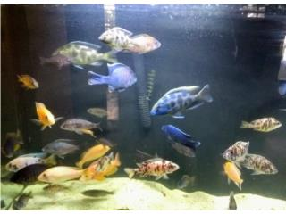 Variedad de peces ciclidos Puerto Rico