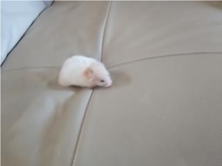 Hermosos hamsters Puerto Rico