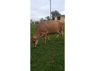 Hermosa vaca jersey  Puerto Rico