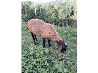 Precioso ovejo de 5 meses   Puerto Rico
