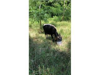 Venta de toro  Puerto Rico