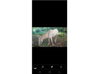 Precioso caballo  sabino manso bien andao Puerto Rico