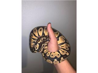 Ball python pastel Puerto Rico