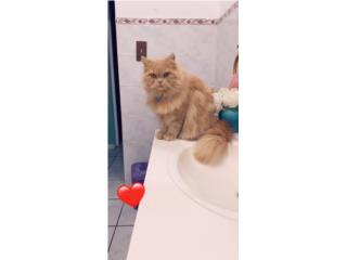 Regalo gato persa me mudo a los estados  Puerto Rico