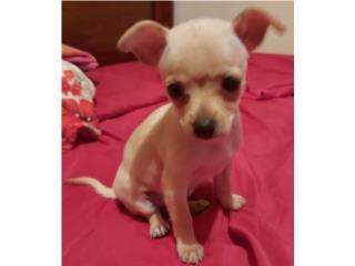 Preciosa Chihuahua toy Puerto Rico