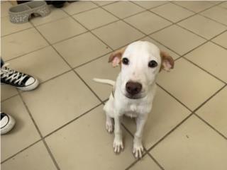 Adopción: Perrito hermoso Puerto Rico