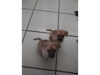 Puppies Son juguetones  Puerto Rico