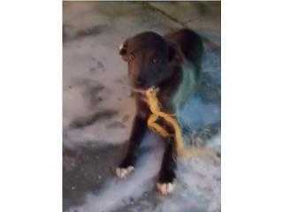 Perrito puppy para adopcion Puerto Rico