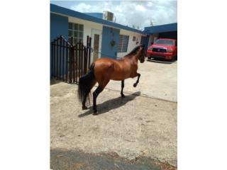 Hermoso caballo refinao  Puerto Rico