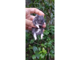 Hamster enano ruso Puerto Rico
