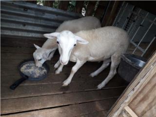 Dos ovejos de 4 meses Puerto Rico