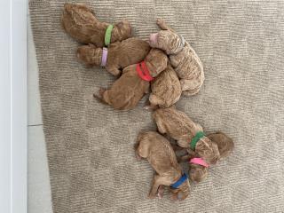 Goldendoodles NENES Puerto Rico