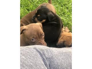 Perros 400 y hembra 450 Puerto Rico