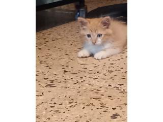 Gato persa  Puerto Rico