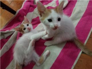 Gatitos de 2 meses en adopción. Area de SJ Puerto Rico