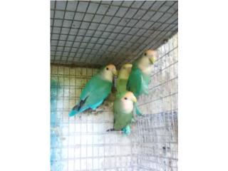 Pareja de love bird WF adulta $100  Puerto Rico