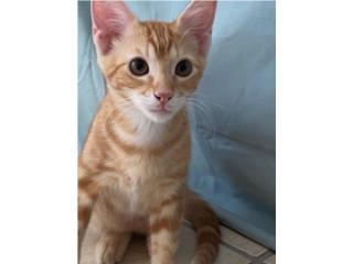 Lindo gatito en adopción Puerto Rico
