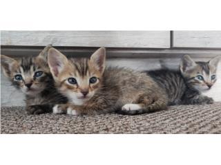 3 gatitos machos, se un heroe y adopta uno . Puerto Rico