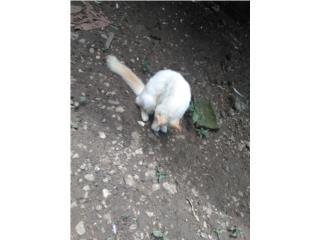 Se regala gato pelu Puerto Rico