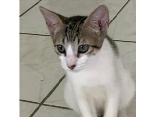Gatitos de3 meses. Vacunados y desparasitados, Mascotas Puerto Rico