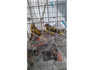 Cv/ck Hermosa pareja de canarios  Puerto Rico