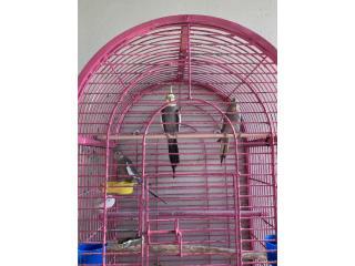 3 Cockatiel saludables  jovenes Puerto Rico