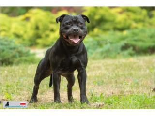 Stafforshire Bull Terriers , Mascotas Puerto Rico