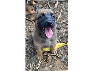 Puerto Rico Puppies Belgian Malinos $400 , Perros Gatos y Caballos
