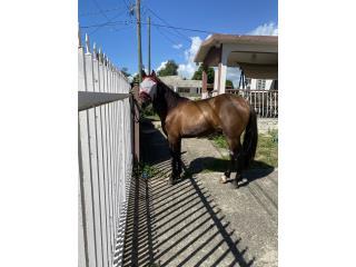 Puerto Rico Caballo Bayo entero 3 andares, Perros Gatos y Caballos