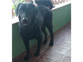Labrador hembra  Puerto Rico
