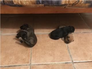 Regalo 4 Puppies Satos Puerto Rico