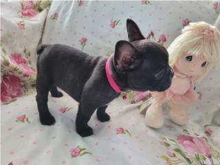 French Bulldog Nena AKC y vacunada Puerto Rico