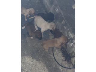 Se regalan perritos  Puerto Rico