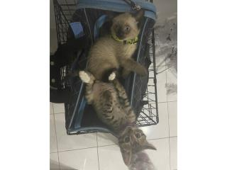 Tengo dos Gatitos para adopción  Puerto Rico