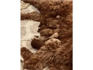 Puerto Rico Precios Goldendoodle F2b, Perros Gatos y Caballos