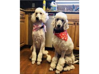 Puerto Rico AKC White Standard Poodle , Perros Gatos y Caballos